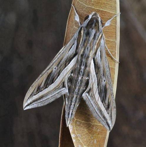 Бражник оливково-бурого окраса