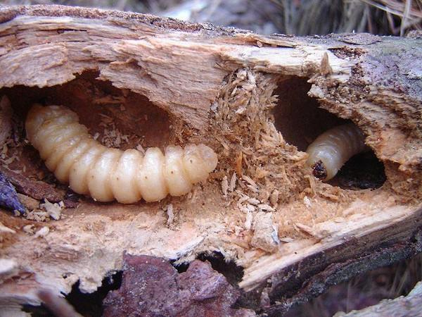 Вред деревьям наносят личинки