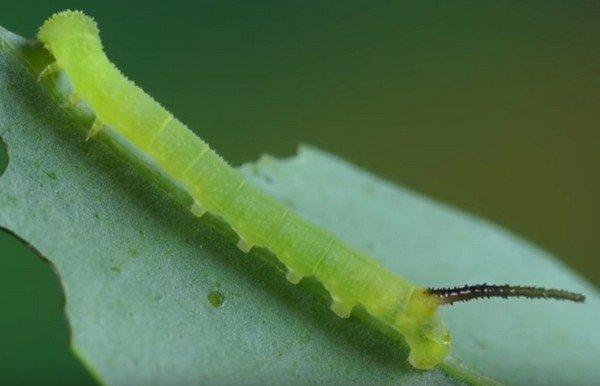 Зеленая личинка
