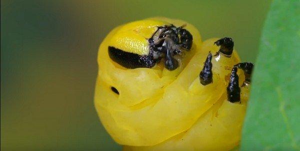 Взрослая гусеница