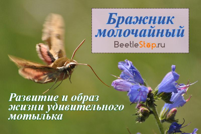 Бабочка бражника молочайного
