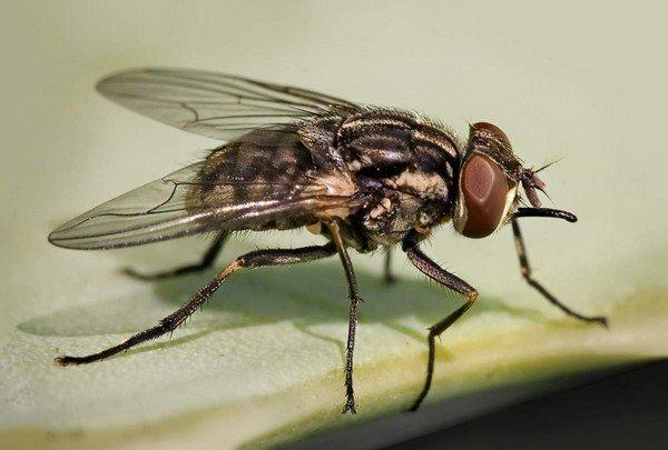 Кусачая муха