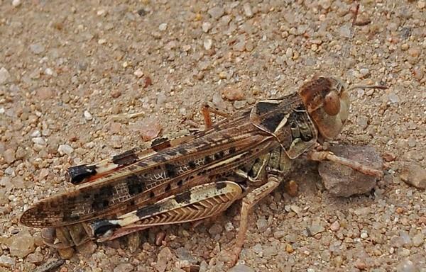 Марокканская саранча угрожает посевам на юге Таджикистана