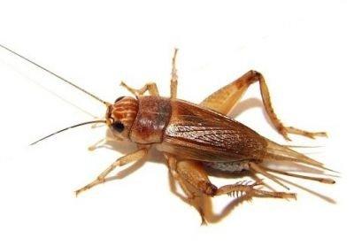 Так выглядит это насекомое