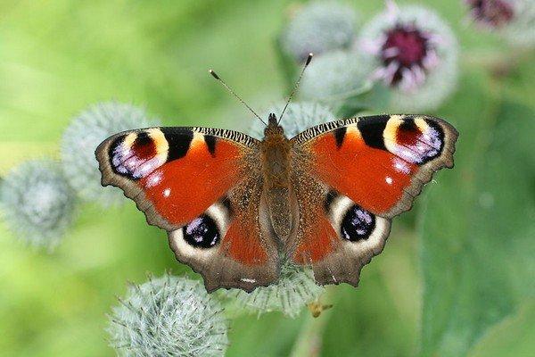 Яркая бабочка Павлиний глаз