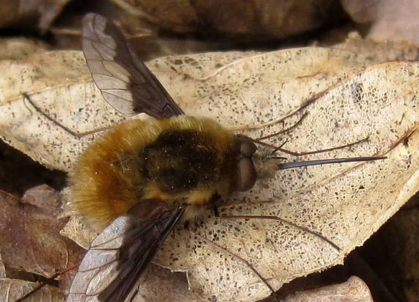 Общий вид необычной мухи