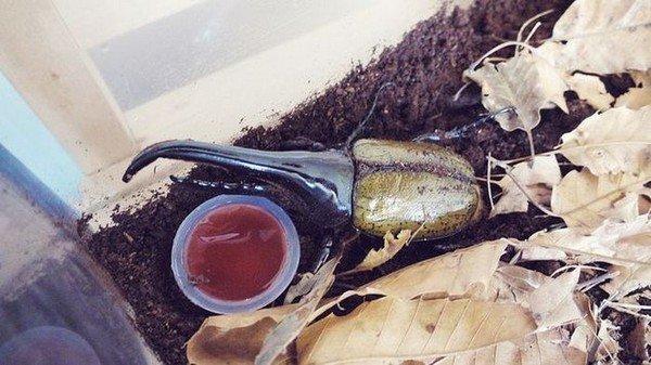 Гмгантский жук - уникальный питомец