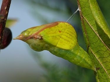 Будущая бабочка