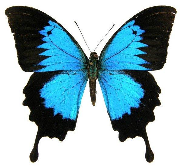Бабочка с голубыми крыльями