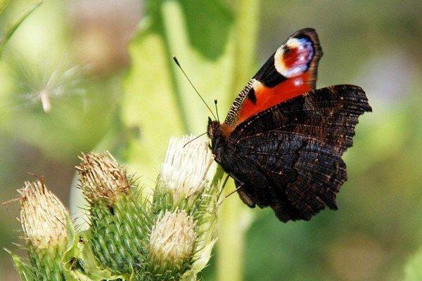 Крылья снизу черного цвета