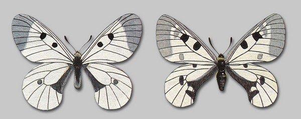 Самец и самка мнемозин