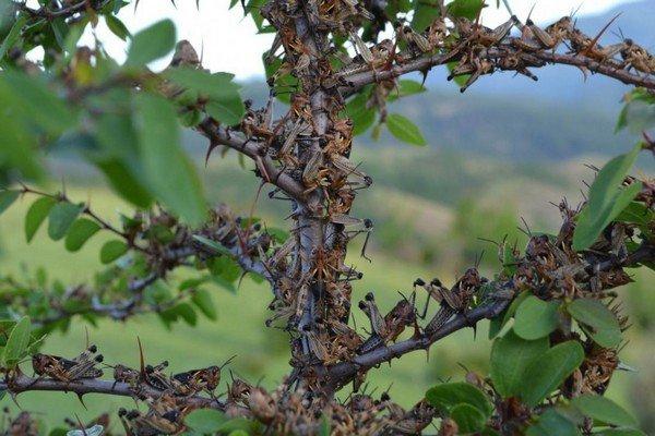 Саранча облюбовала деревце