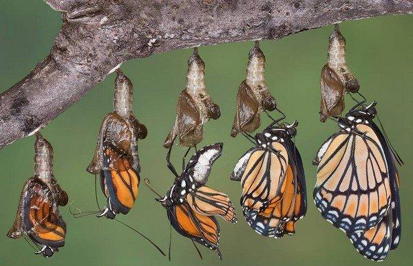 Появление бабочки из куколки