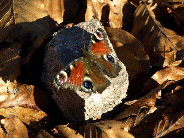 Бабочка среди осенних листьев