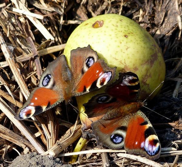 Бабочки лакомятся