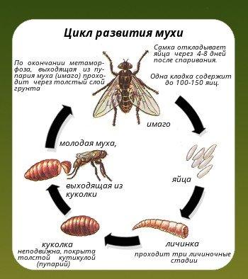 Этапы развития мухи