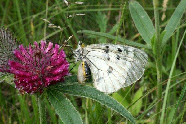 Бабочка пьет нектар клевера