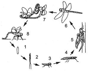 Стадии жизни насекомого
