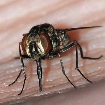 Человек тоже может подвергнуться нападкам мух