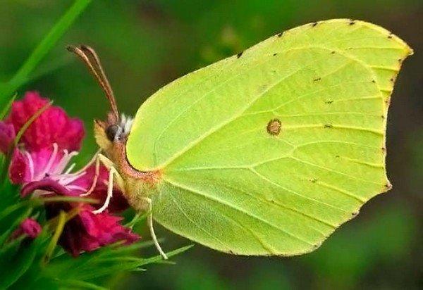 Бабоччка на цветке