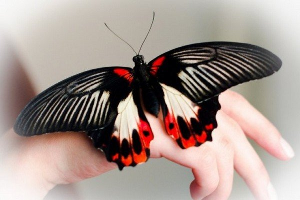 Бабочка названа в честь графа Румянцева