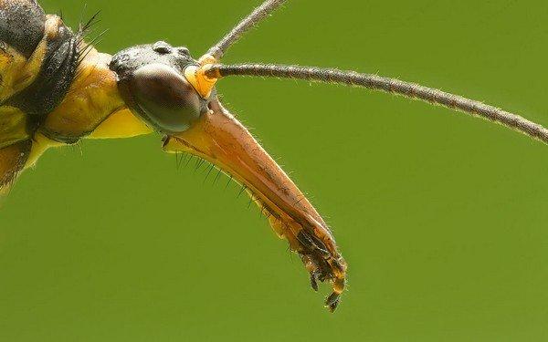 Скорпионница вблизи