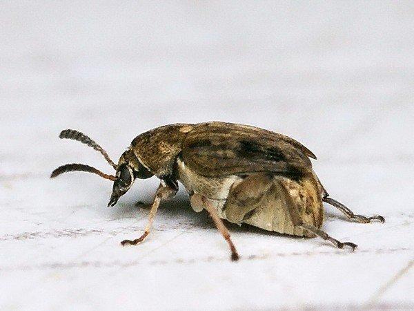 Маленькое, но вредоносное насекомое
