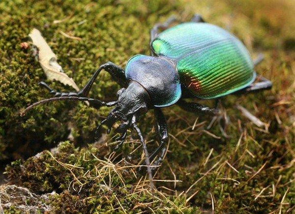 Самка жука