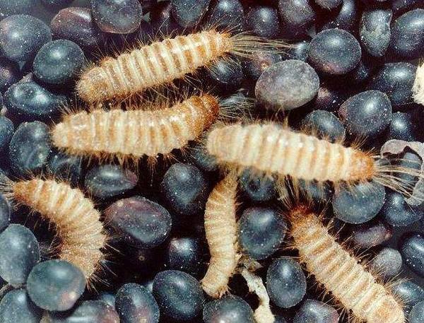 Множество личинок кожееда