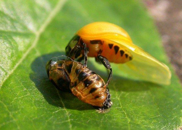 Молодое насекомое