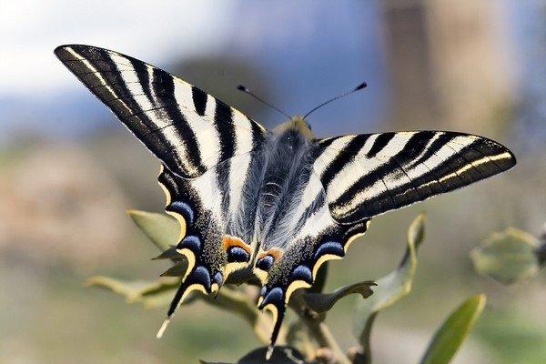 Уникальная редкая бабочка