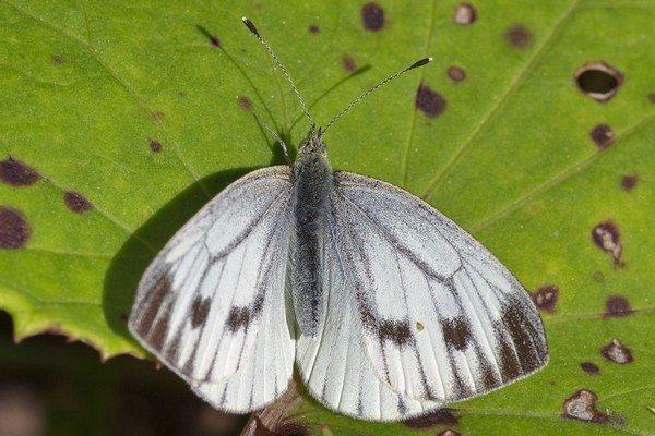 Белая бабочка с темными пятнами