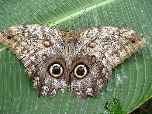 Рисунок на крыльях напоминает глаза совы