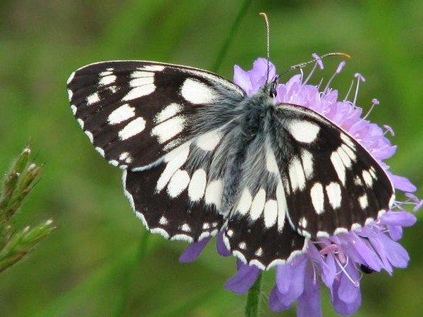 Черно-белая бабочка галатея
