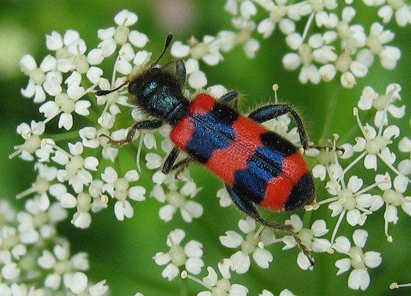 Этот симпатичный жук - опасный вредитель