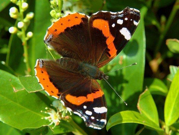 Общий вид бабочки