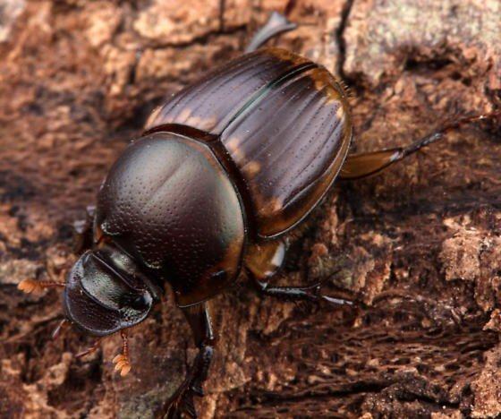 Навозный жук из семейства скарабеев
