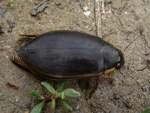 Крупный широкий жук