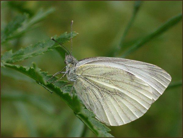 Внутренняя сторона крыла более светлая