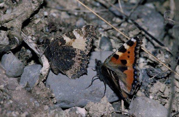 Бабочка со сложенными и распахнутыми крыльями
