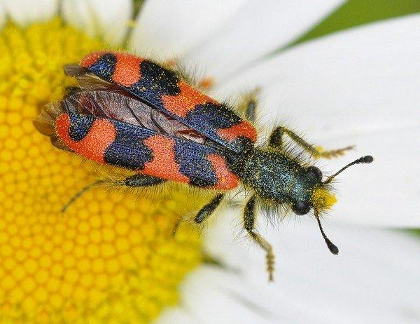 Самка пестряка пчелиного