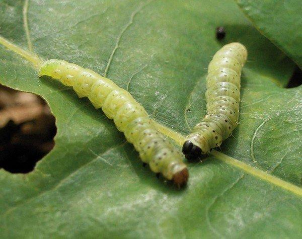 Личинки листровертки