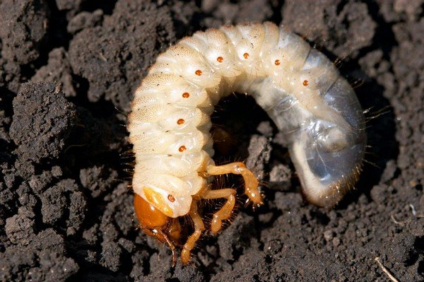 Будущий жук