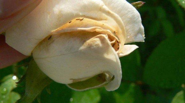 Пораженный цветок