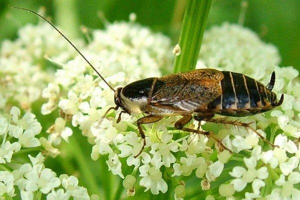 Этот таракан - любитель природы