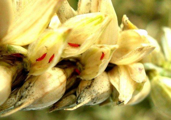 Пшеница атакована личинками