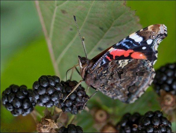 Бабочка питается ягодами