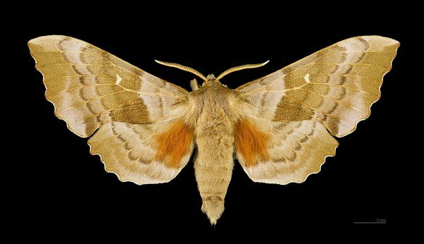 Бражник с раскрытыми крыльями
