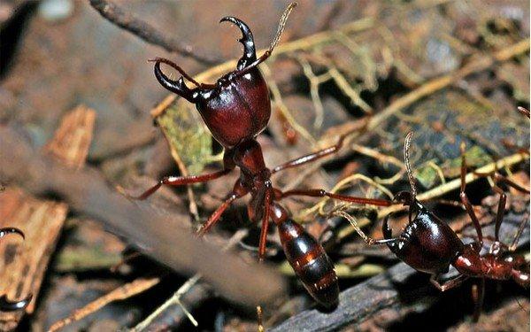 Боевая единица муравьиной армии