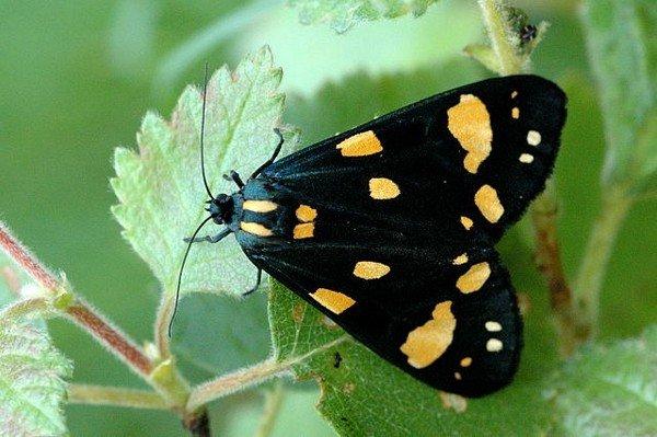 Подвид с желтыми пятнами на крыльях